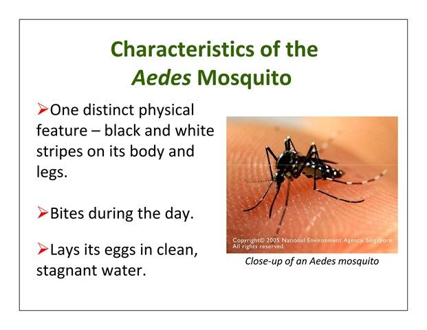 Aedes Aegypti mosquito photo